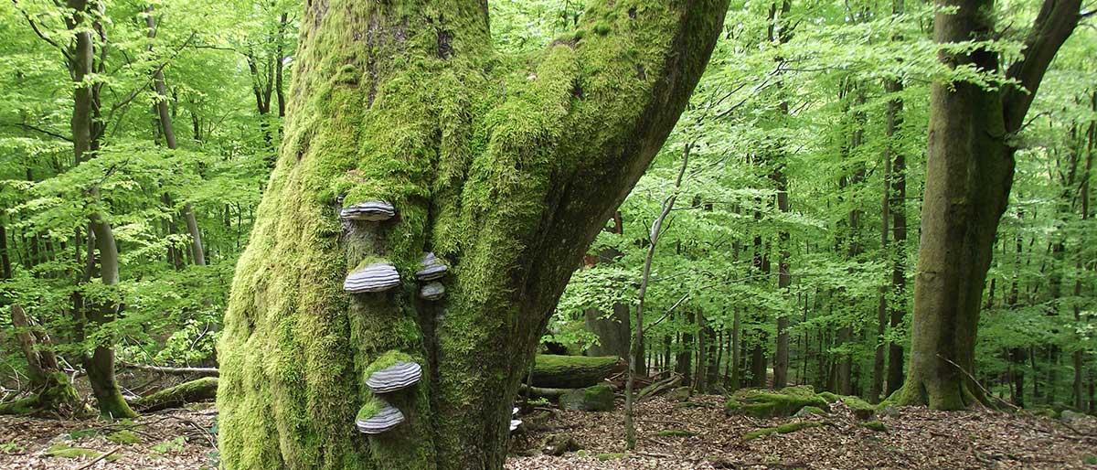 Zunderpilze am Baum
